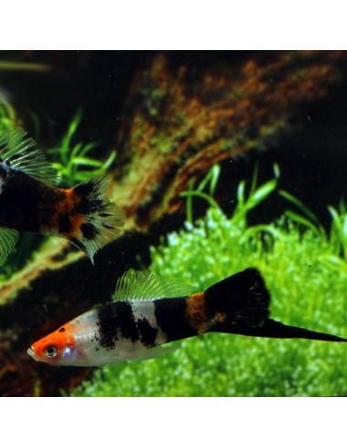 Xiphophorus hellerii (Ksifo Koi)