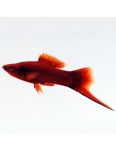 Xiphophorus hellerii (Ksifo Rubin)
