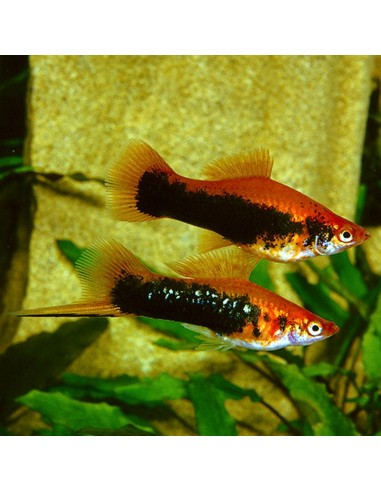 Xiphophorus hellerii (Ksifo Tuksedo)