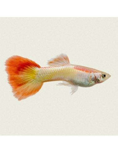 Poecilia reticulata (Guppy rainbow)