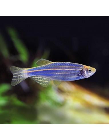 Danio rerio ( Zebrica plava )