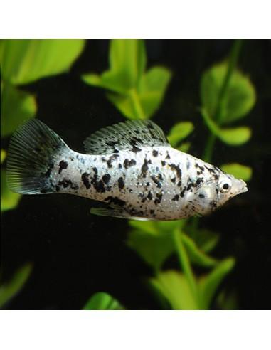 Poecilia latipinna (Silver marble moli)