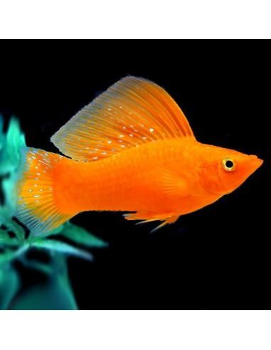 Poecilia latipinna (Moli blood red)