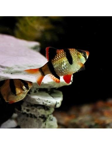 Puntius tetrazona ( Barbus tetrazona)
