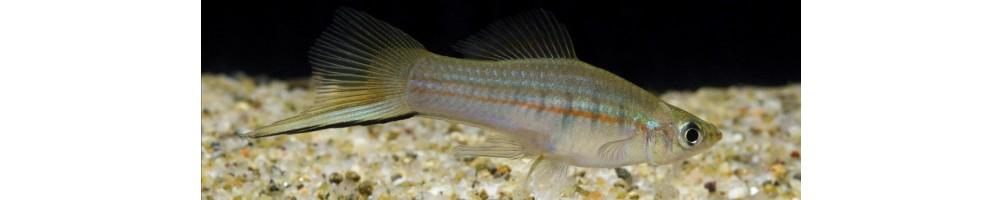 Xiphophorus, akvarijumske ribice